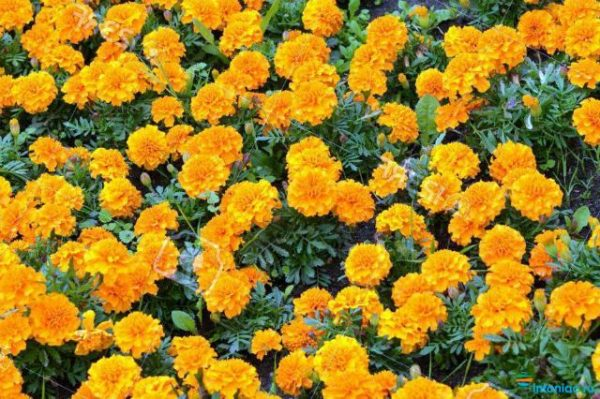 Тагетес Патула - Бархатцы отклоненные: как ухаживать за цветком :: Инфониак