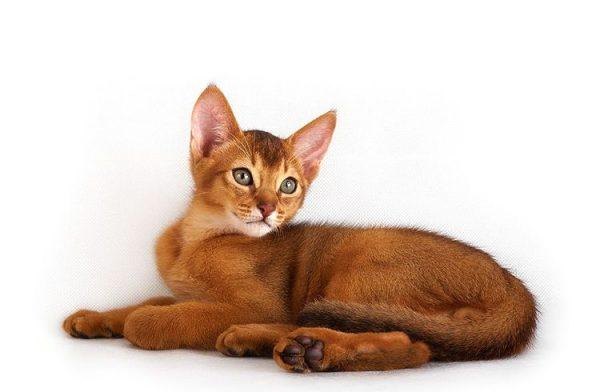 Питомники абиссинских кошек в Москве и Подмосковье