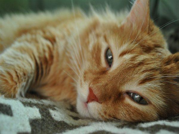 Обои Счастливый рыжий кот на рабочий стол