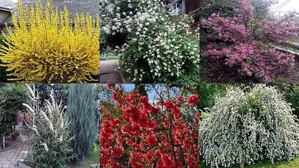 Самые неприхотливые цветущие кустарники для сада и на даче — Садоводство