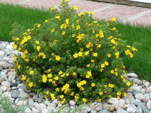 Кустарники для сада: декоративные виды цветущих многолетников для дачи, фото