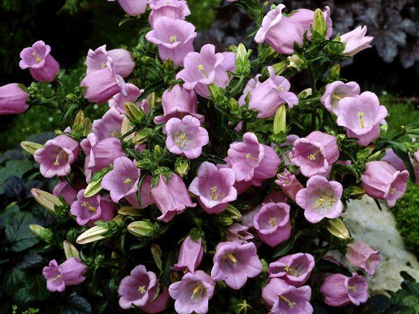 Фото Розовый Цветы Колокольчики - Цветы