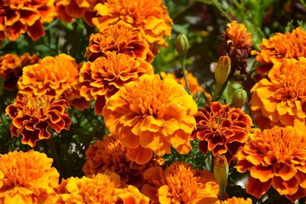 Бархатцы: виды, посадка и уход, позьза на участке, сбор семян