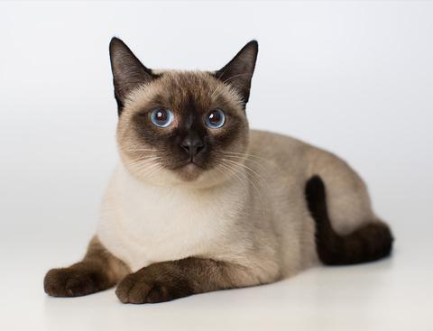 Груминг тайской кошки: уход за шерстью, стрижка и купание тайской кошки | Породы кошек | Royal-groom