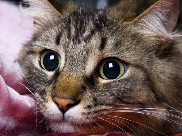 Стресс у кошки, кота: 16 причин, симптомы, первая помощь и лечение