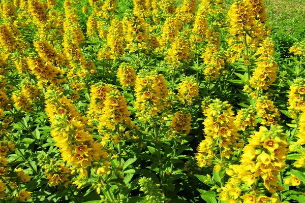 Агрессивные растения в вашем саду, которые вытеснят сорняки