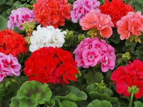 Секреты пышного цветения герани   6 соток