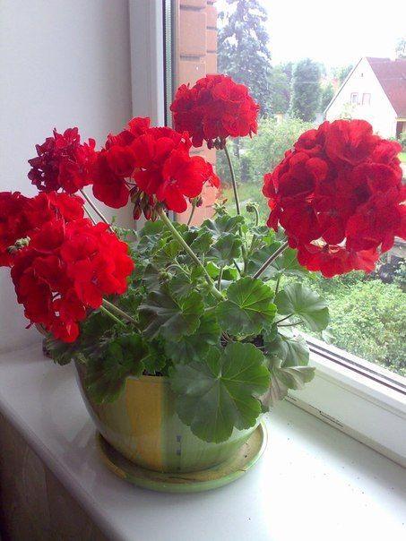 ХОТИТЕ ЧТОБЫ ГЕРАНЬ ПЫШНО ЦВЕЛА КРУГЛЫЙ ГОД?   Герани, Садовые идеи, Цветение