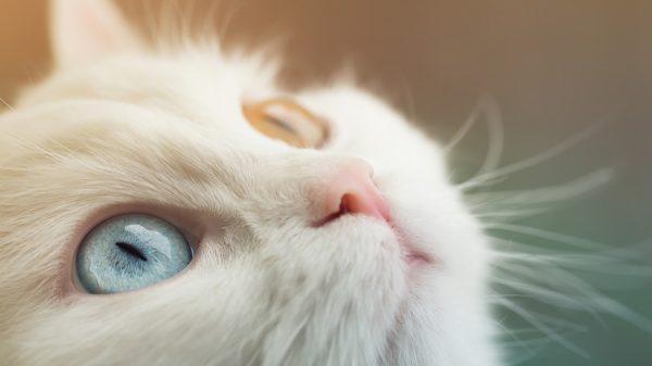 Разный цвет глаз у кошек (гетерохромия): фото, причины, породы разноглазых кошек, клички