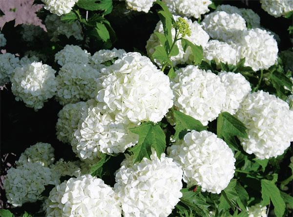Снежные цветы калины Бульденеж